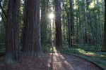 Morning In The Redwoods